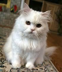 Persian Cat Meme - persian cat wikipedia