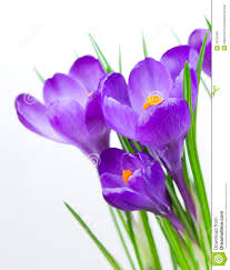 spring flower crocus spring flowers royalty free stock photography image 24125387