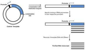 restriction enzyme reverse transcriptase real time qpcr gene