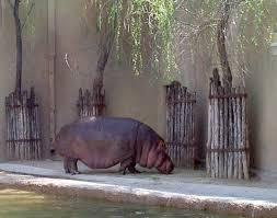 si e social hippopotamus hippopotamus whozoo