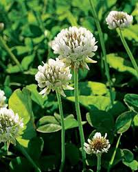 white clover seed for new or existing lawns