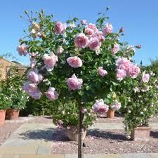 Gardening Zones Canada - hardiness zones 7 and standard roses