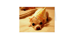 chihuahua greeting cards zazzle