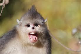 yunnan snub nosed monkey u2013 birding beijing 北京观鸟