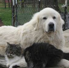 great pyrenees rescue provides wonderful dogs to good homes colorado great pyrenees rescue community your cat and the dog