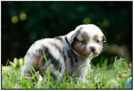 australian shepherd 7 mesi l u0027arrivo del cucciolo a casa allevamento musimaciay pastore