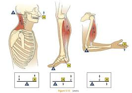Human Anatomy Planes Of The Body Nasm Study Guide Chapter 5 U2013 Human Movement Science The Healthy