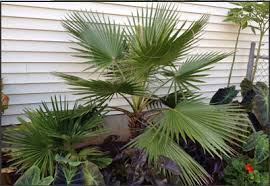 mexican fan palm growth rate palm tree information and photos garcia s palms lake havasu city az