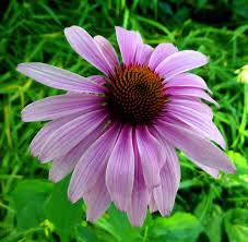 native american plants biennial plant new hampshire garden solutions