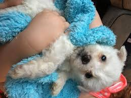 bichon frise for sale cheap bichon frise dogs and puppies rehome buy and sell in the uk and
