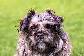 affenpinscher maltese mix free images sweet animal cute pet portrait hybrid