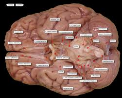 brain ventral view labels brain u0026 nervous system pinterest