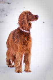 irish setter male dog names irish setter requires daily walks and wide open spaces because it s