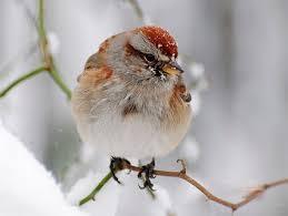 Nj Backyard Birds by American Tree Sparrow Identification All About Birds Cornell