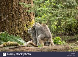 Washington wildlife images Canada lynx mating at northwest trek wildlife park near eatonville jpg