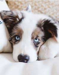 australian shepherd puppies 500 australian shepherd puppies
