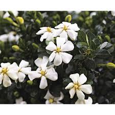 Gardenia Delivery Shop 3 Gallon White Heaven Scent Gardenia Flowering Shrub L20905