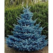 colorado blue spruce tree seeds picea pungens glauca