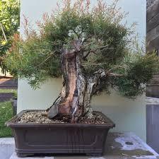 bonsai australian native plants ausbonsai view topic melaleuca linariifolia u0027claret tops