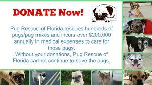 boxer dog rescue florida pug rescue of florida inc u2013 pug rescue of florida exists sole