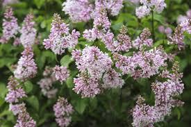 Fertilizer For Flowering Shrubs - fertilizing lilacs u2013 when and how to fertilize lilac shrubs
