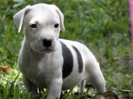 american pitbull terrier breeders st louis pitbull for sale smartfamilypets