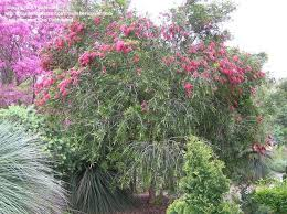 plantfiles pictures pink bottle brush tree perth pink
