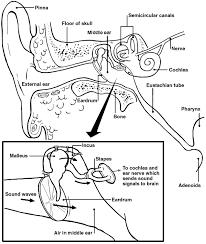 Behind The Ear Anatomy Balance U0026 Hearing How Do Ears Affect Balance Patient
