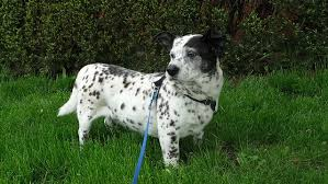 4 australian shepherd x dalmation 15 dalmatian mixes spotting the right canine partner