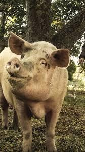 best 25 pig breeds ideas on pinterest guinea pig breeding