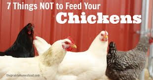 What To Feed Backyard Chickens by What Not To Feed Chickens The Prairie Homestead