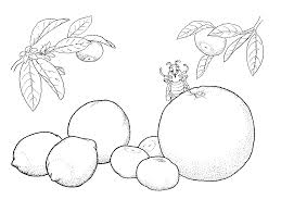 coloring page citrus fruit