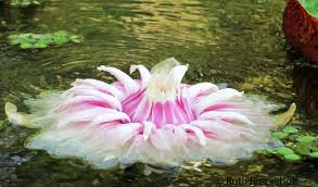 Lily Flower Garden - amazonian water lily flower botanical garden rio de janeiro