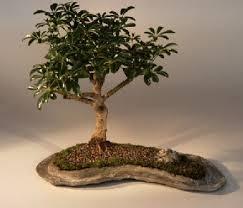 umbrella bonsai tree for sale on a rock slab arboricola