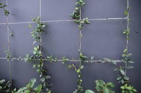 buy star jasmine plants online garden plants australia wide