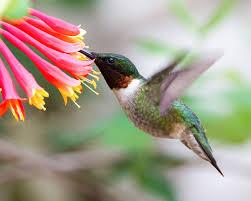 Hummingbird Plant Create A Hummingbird Habitat U2013 Weston Nurseries