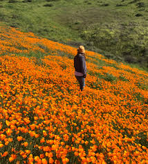 anza borrego super bloom through my eyes socal s super bloom ryzenberg on musings of a
