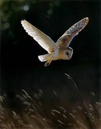 Barn Owl Sounds An Bird Perched On A Branch And Flying Away About Barn Owls