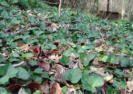 native plants of france escape of the invasives top six invasive plant species in the