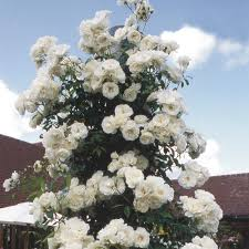iceberg roses for the front of a house specific situations