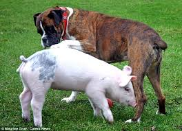 boxer dog jokes a piglet u0027s best friend animal forms unbreakable bond with boxer