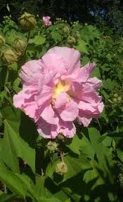confederate rose 3 gal large pink flower plant easy grow plants