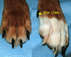 black claws clipping a dog s claws toenails