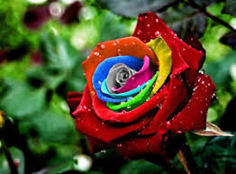 multicolor roses seeds mystic multicolor roses winter hardy plant