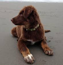 is an australian shepherd smart the aussiedor u2013 australian shepherd labrador puppies aussiedoodle