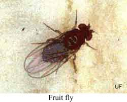 Small Black Flies In Bathroom And Kitchen Bathrooms Cabinets - Small flies in kitchen sink