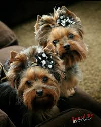 hair accessories for yorkie poos 720 best yorkies images on pinterest best friends board and candies