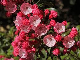 kalmia latifolia berglorbeer lorbeerrose u0027little linda u0027 kalmia latifolia var
