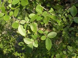 native plants in texas texas cedar elm