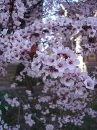 prunus cerasifera thundercloud thundercloud cherry plum or